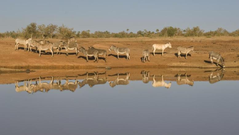Mali: arrestation d'un Chinois soupçonné de diriger un trafic de peaux d'ânes