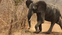Les éléphants sont-ils les espèces les plus ménacées ?