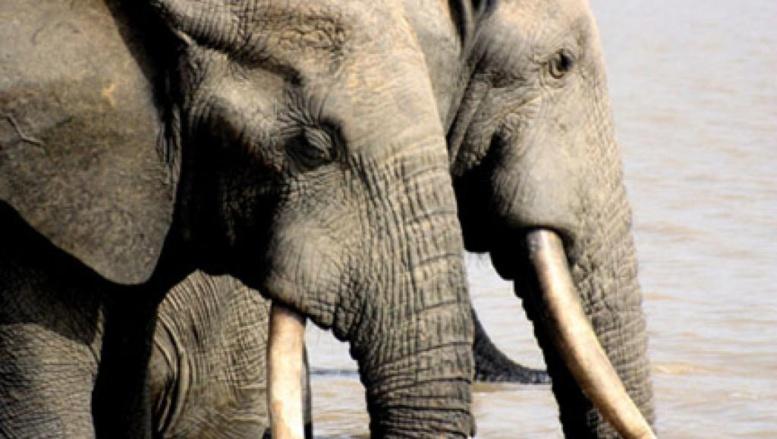 Selon la dernière étude, en 7 ans, le continent africain a perdu un tiers de ses éléphants, principalement dû au braconnage, pour leur ivoire. © (Photo : DR)