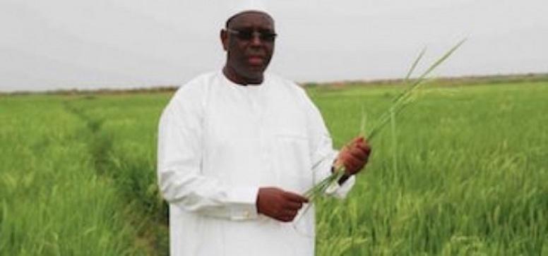 Tournée agricole – Président Macky Sall: «Le Sénégal va tout droit vers une autosuffisance sur les céréales»