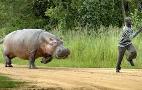 Gouloumbou – Un hippopotame tué à Touréma: les populations soulagées