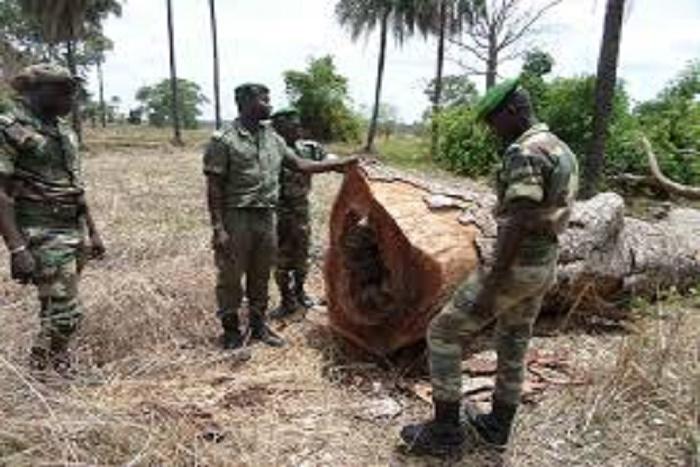 Lutte contre le trafic de bois : 500 troncs d'arbres saisis, 8 individus arrêtés à Tamba