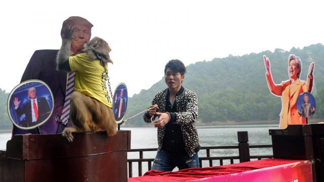 Image: le singe qui avait prédit la victoire de Trump