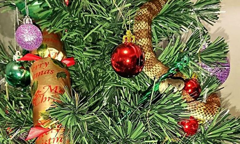 Un serpent-tigre se glisse dans le sapin de Noël d'une Australienne