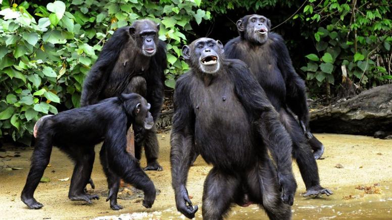 Un cas très rare de chimpanzés cannibales observé au Sénégal