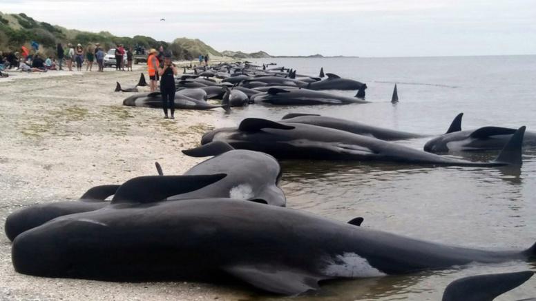 En Nouvelle-Zélande, plus de 400 baleines se sont échouées sur une plage la même nuit