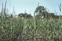 Abondance des récoltes cette année grâce à une bonne pluviométrie