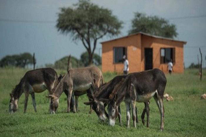 Pourquoi les Chinois veulent la peau des ânes africains