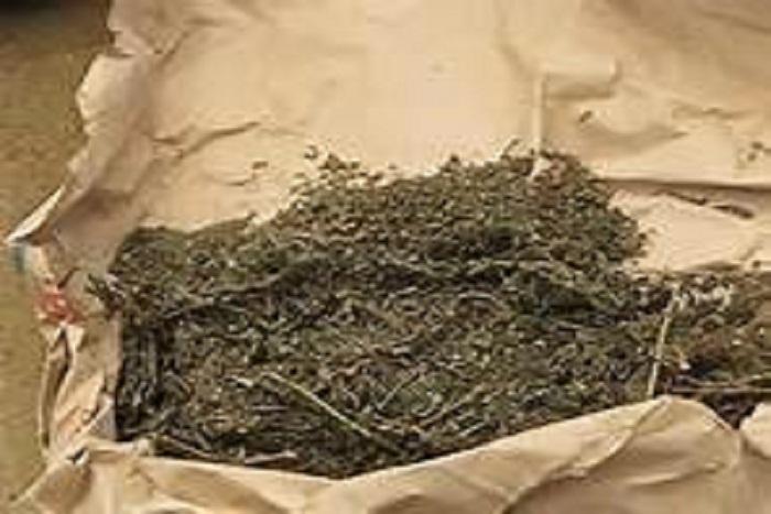Trafic de drogue :10,125 Kg et 85 cornets de chanvre indien, saisis entre Saint-Louis, Mbour et Tambacounda