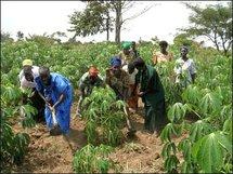 Des paysans récoltant  dans leur champs (photo): www.bargny.info
