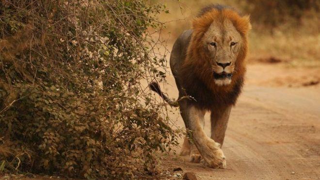 Quatre lions s'évadent du parc national Kruger — Afrique du Sud