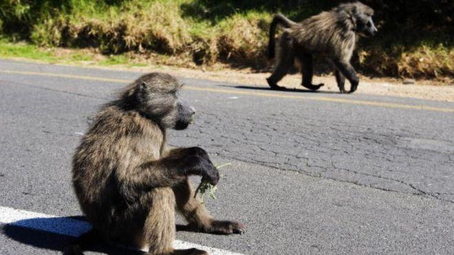 Zambie : un babouin coupe l'électricité