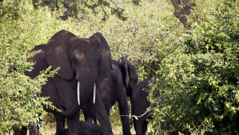 La population des éléphants d'Afrique diminue de plus en plus vite