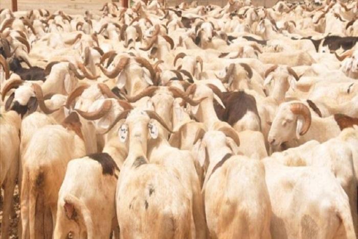 Autosuffisance en moutons en 2020 : Le Renades s'engage