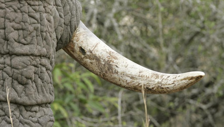 Le commerce local de l'ivoire a disparu en Afrique centrale