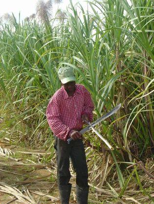 Culture agro-carburant : la canne à sucre dame le pion au jatropha à Richard Toll