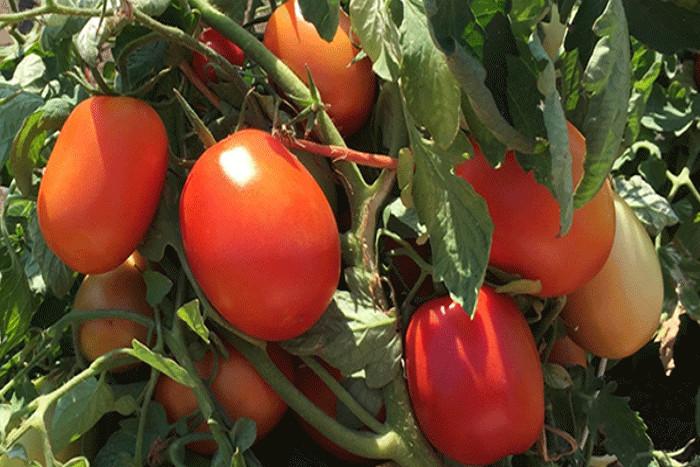 Lancement de l'usine de tomate Kagomé : le Japon s'installe au Sénégal