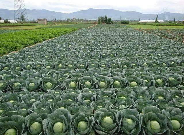 Diogo : Des tonnes de choux pourrissent dans les périmètres agricoles, faute de commercialisation et...