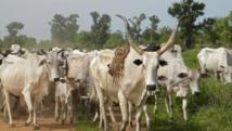 Nigeria: le conflit entre éleveurs et agriculteurs s'enlise