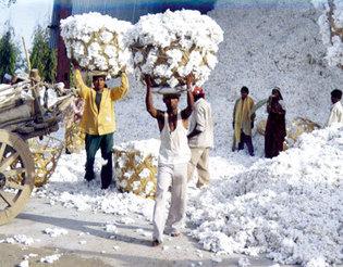Coton : Un déficit de plus de 500 millions de francs Cfa au Sénégal.