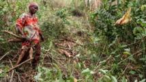 La Côte d'Ivoire en guerre contre la maladie du manioc