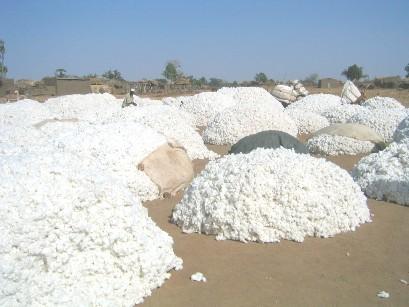 Les producteurs africains de coton réclament la revue de la loi de l'Omc interdisant leur financement par les Etats
