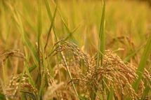 Economie : le riz paddy connaitra un déficit de 4,9 tonnes d'ici 10 ans.