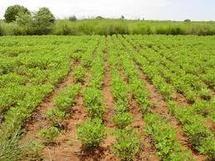 Développement de la filière arachidiére : les propositions de Niasse