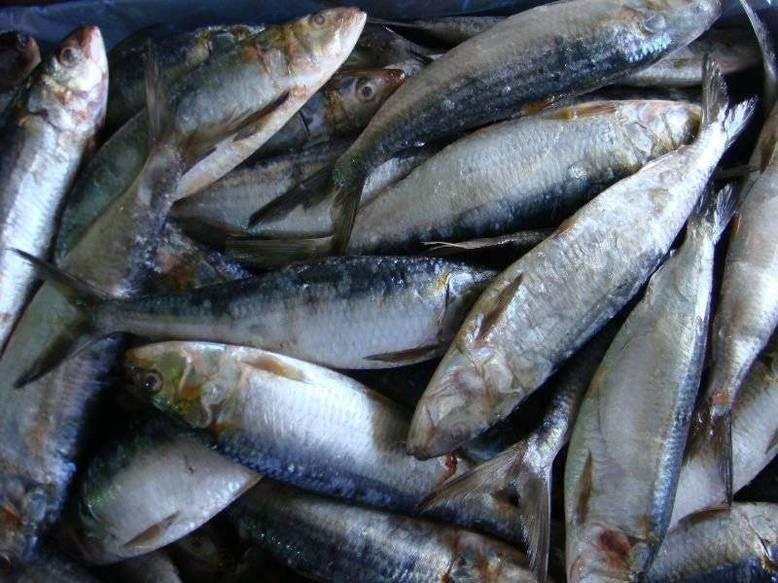 Les sardinelles