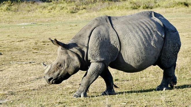 Des chinois arrêtés au Zimbabwe pour trafic de cornes de rhinocéros
