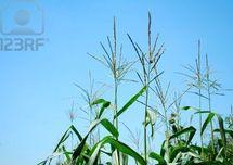 Vers la production de tiges et feuillets de maïs pour l'alimentation du bétail
