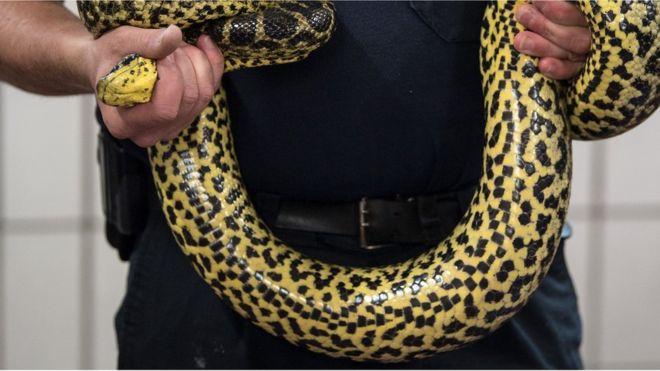 En Indonésie, la police utilise un serpent pour obtenir des aveux