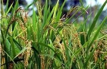 Le Nérica pour combler l'autosuffisance en riz (technicien)