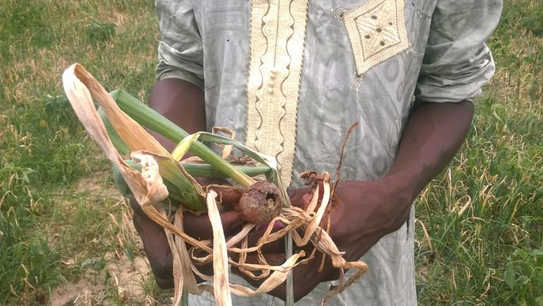 Un cultivateur exposant des tiges d'oignon détruits par la pollution des ICS