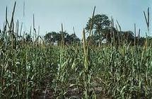 Foundiougne : Le déficit de pluviométrie et le retard de l'engrais frein de l'évolution du mil