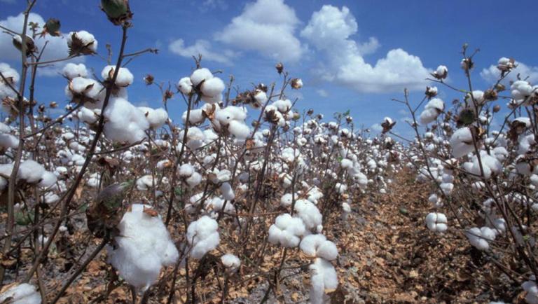 Tchad: les autorités suspendent la distribution de graines de coton importées