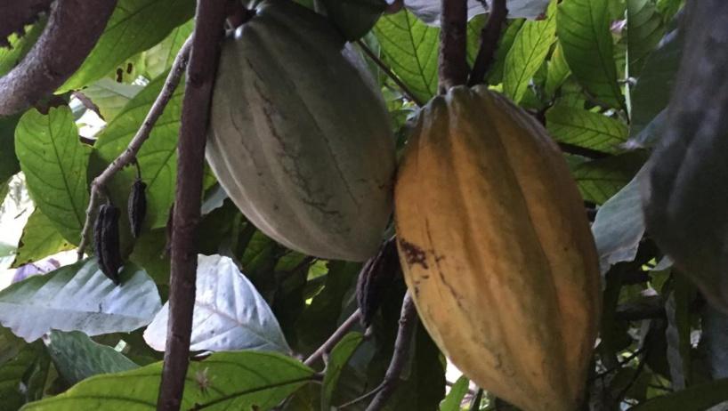 Cacao: la Côte d'Ivoire et le Ghana de retour sur le marché mondial