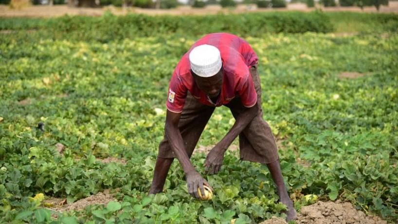 La lutte contre les criquets au Sahel, cruciale en pleine campagne agricole