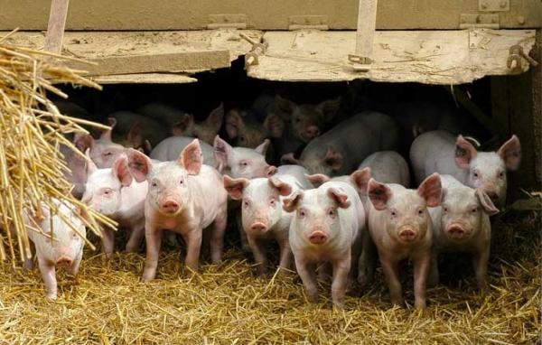 Le déficit d'alimentation dans les ménages sénégalais fait flamber les prix du porc