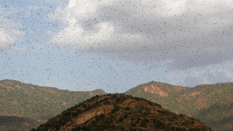 L'ONU appelle à une aide contre les criquets dans l'est de l'Afrique