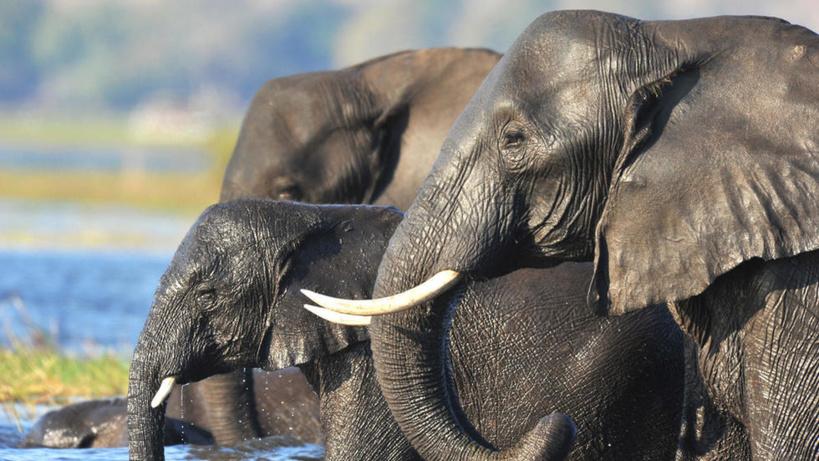 Botswana: la vente aux enchères de permis de chasse à l'éléphant fait polémique