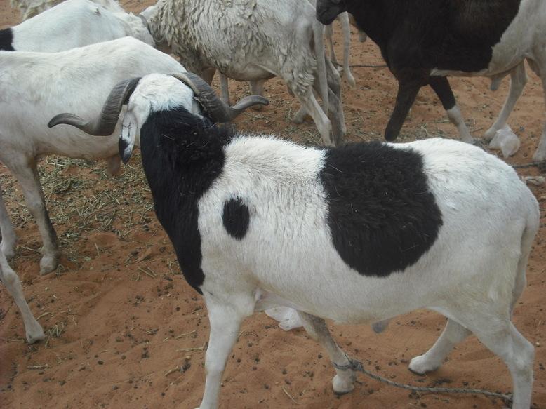 Elevage: le gouvernement va subventionner l'aliment de bétail de 50%