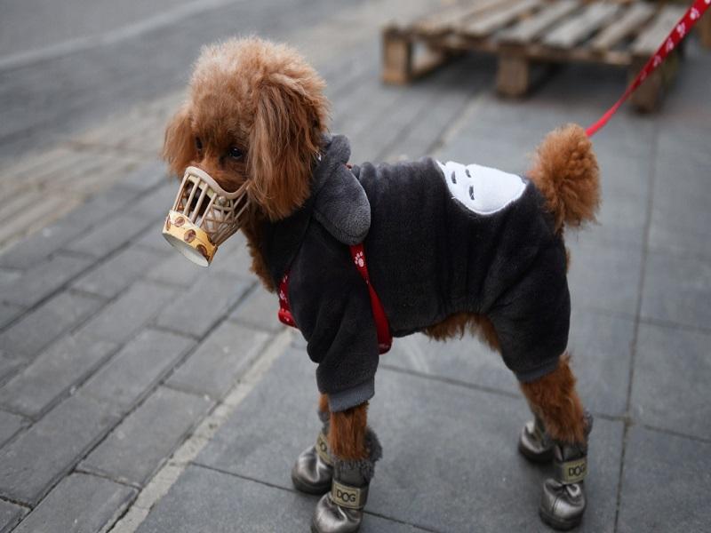 Hong Kong: un chien testé positif au coronavirus placé en quarantaine