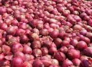 Difficultés d'écoulement – Oignon locale : Les producteurs d'oignon réclament un gel des importations pendant de trois ans
