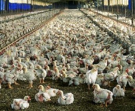 Consommation poulet local : autosuffisance assurée