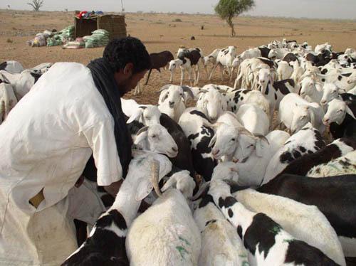 Tabaski 2012: Aminata Mbengue Ndiaye assure un approvisionnement suffisant en moutons