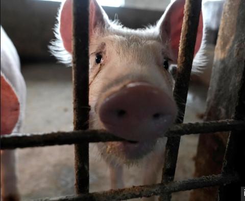 Le virus G4, cette grippe porcine qui suscite la crainte d'une nouvelle pandémie