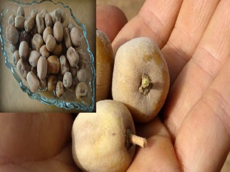 Dattier du désert : une plante africaine aux excellentes vertus pour la santé et le bien-être