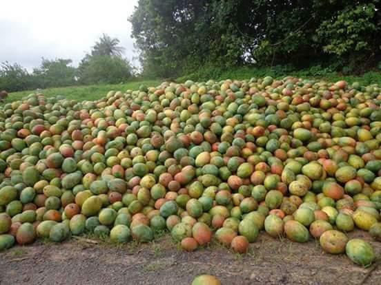 Conséquences de la pandémie du Covid-19 : Les exportations de mangues chutent de 40%