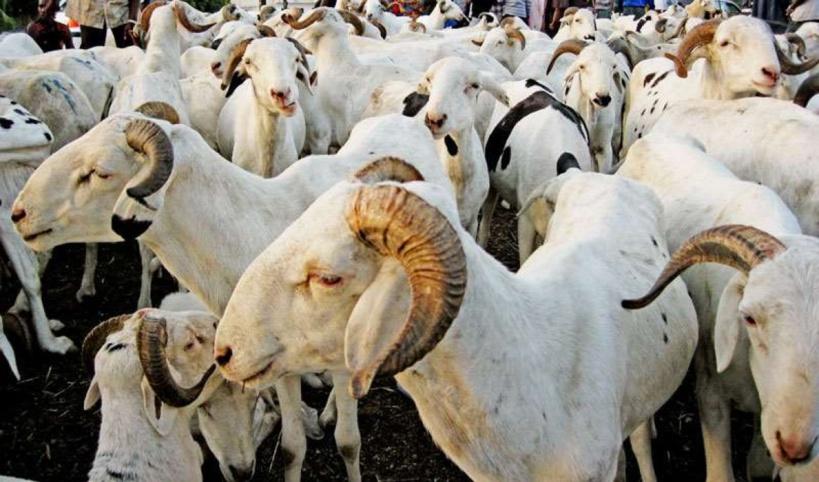 """Dakar: """"il y a plus de 150 000 moutons qui n'ont pas été vendus"""", selon le directeur de l'Elevage"""